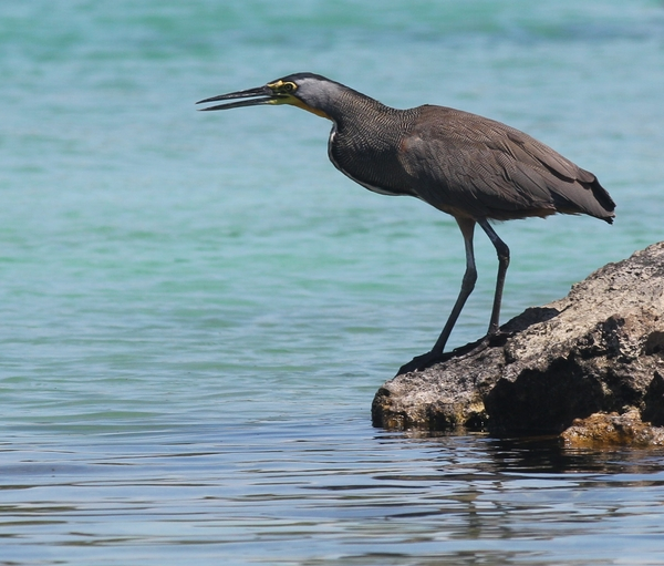 Tricoloured Heron