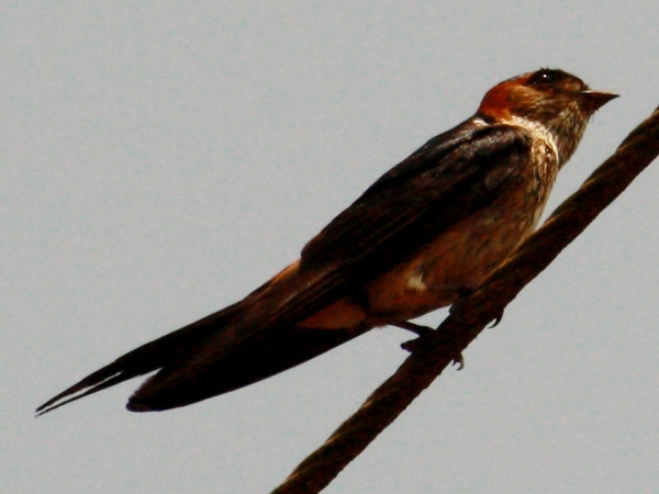 Common Swallow