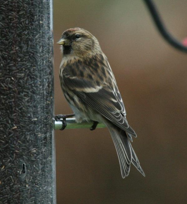Common Red Poll
